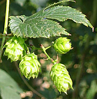 Hops on a bine